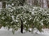 Best tree in snow