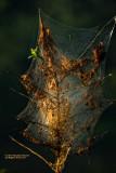 Tent caterpillar web