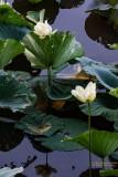 Water Lilies River Bend -Natchez Trace