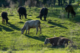 Grazing Cattle-Madison County MS