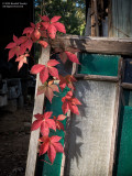 Virginia Creeper-on-stained-glass