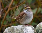 BIRDS OF SHETLAND