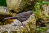 Blackbird (?)