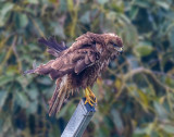 (not so) Common Buzzard...