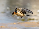 Swallow in flight... how else ?