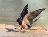 Gathering mud for new nesting