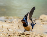 A curious swallow