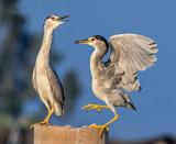 The herons' dance