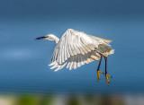Little egret in great flight...
