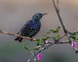 The star cassock of the starling