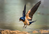 Landing of the swallow