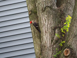 The pileated woodpecker in the neighborhood
