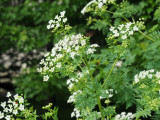 Poison Hemlock or Sweet Cicily or Queen Anne Lace?