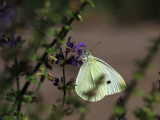 Cabbage White butterfly in the garden