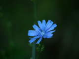 Chicory in the neighborhood