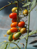 Grape tomatoes on the patio