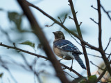 Bluejay on the cherry tree