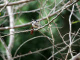 A chickadee on the cherry blossom tree in the backyard