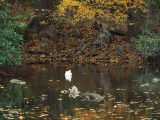 1. The white duck across the pond