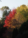Our maple tree