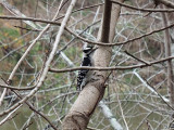 Possibly a Downy woodpecker