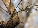 A golden crowned kinglet, I believe