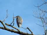 The Great Blue Heron on the tree