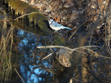 The bluejay beside the canal