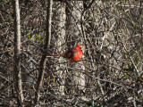 The colorful cardinal in the bushes