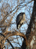 The Great Blue heron on a tree