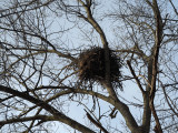 The massive nest up on the tree