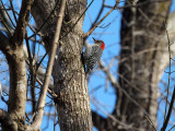 The red bellied woodpecker