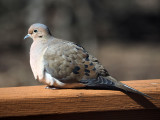 The Mourning Dove on our patio railing