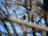 March 7th - Near White's Ferry - The Cardinal through the branches