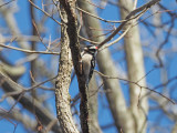 The Downy woodpecker