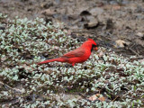 The Northern Cardinal