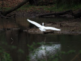 The egret in flight