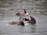 Battling geese!