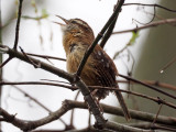 The Carolina Wren