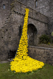 Daffodil display