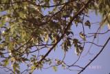 hummingbird on nest RL
