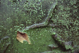duckweed in Radnor slough