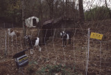 goats at Hall Farm
