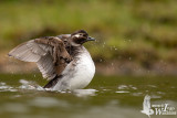 Adult female Long-tailed Duck