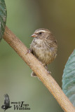Brown-rumped Seedeater (Crithagra tristriata)
