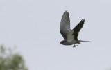 Amur Falcon  Falco amurensis