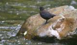 Brown Dipper  Cinclus pallasii