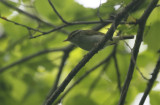 Eastern Crowned Warbler  Phylloscopus coronatus