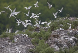 Common Tern  Sterna hirundo longipennis.