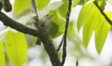 Asian Brown Flycatcher  Muscicapa daurica